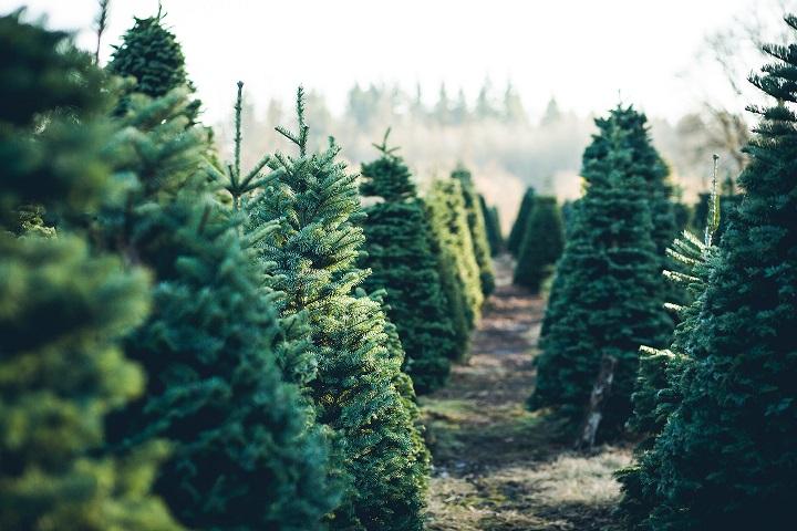Kerstbomenbos in Moordrecht